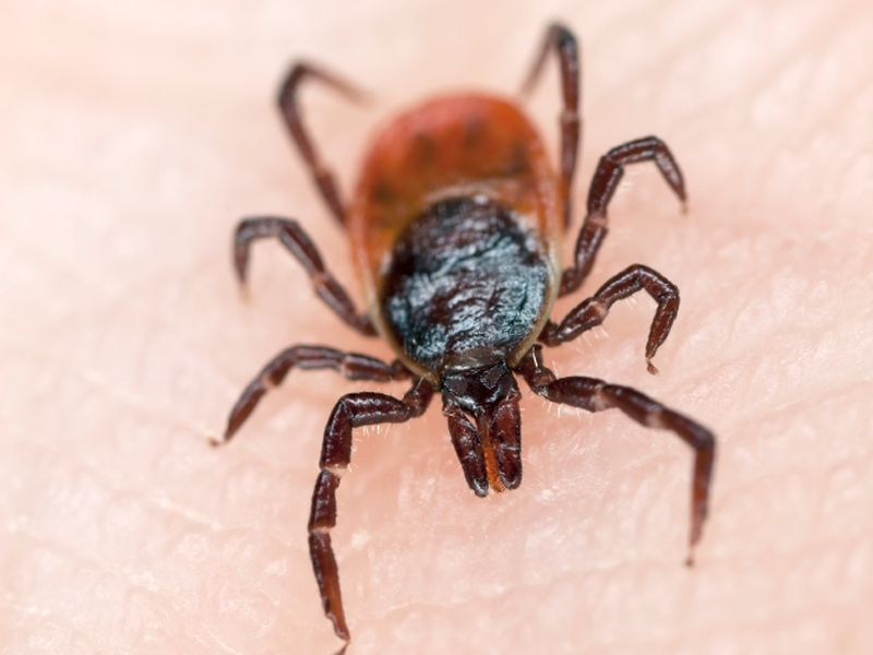News Picture: Global Warming Has Ticks Jumping From Dogs to Humans