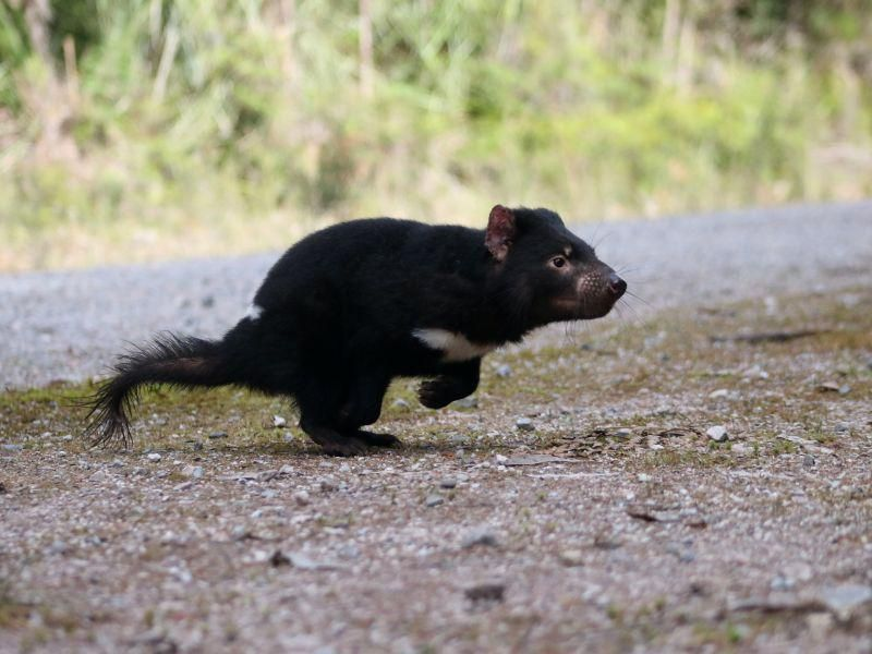 News Picture: Have Tasmanian Devils Turned a Corner in Fight Against Cancer?