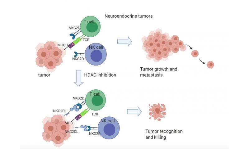 Missing protein helps small cell lung cancer evade immune defenses