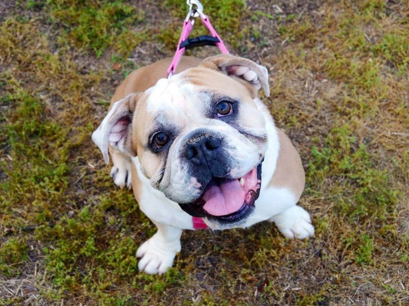News Picture: Cancer Diagnosis Might Be Wrong for Many English Bulldogs