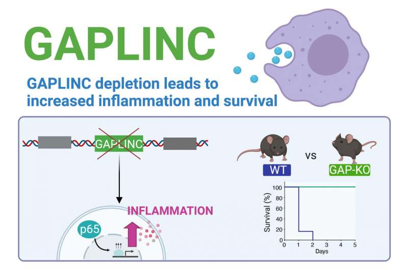 Study identifies noncoding RNA involved in immune response and sepsis