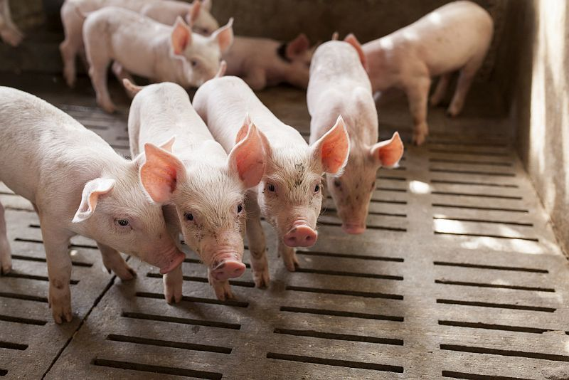News Picture: Livestock Workers at Higher Risk for 'Superbug' Infection