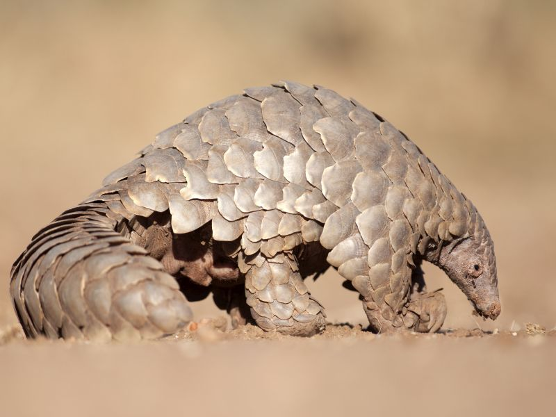News Picture: Did the New Coronavirus Come From Pangolins? New Study Says It's Possible
